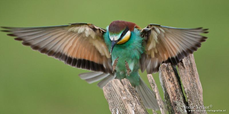 Bijeneter / European Bee-eater - Frankrijk
