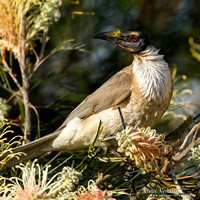 Schreeuwlederkop / Noisy Friarbird - Highfields