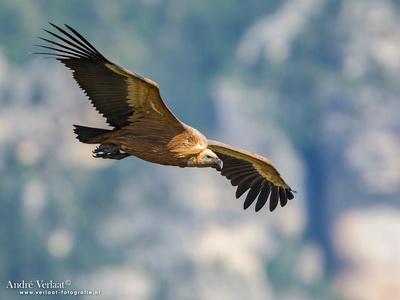 Vale Gier / Eurasian Griffon - Gorges de la Jonte