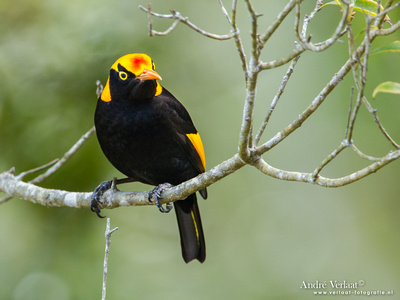 Geelnekprieelvogel / Regent Bowerbird - Lamington Park
