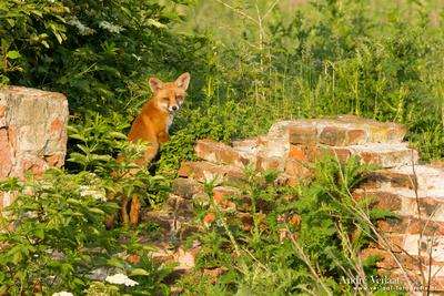 Vos / Red Fox - Zoetermeer