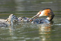 Fuut / Great Crested Grebe - Wognum