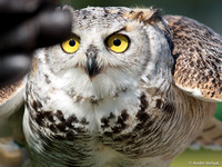 Canadese Oehoe / Northern Great Horned Owl - Hoenderdaell, The Netherlands