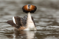 Fuut / Great Crested Grebe - Den Oever
