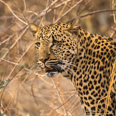 Luipaard / Leopard - South Luangwa NP