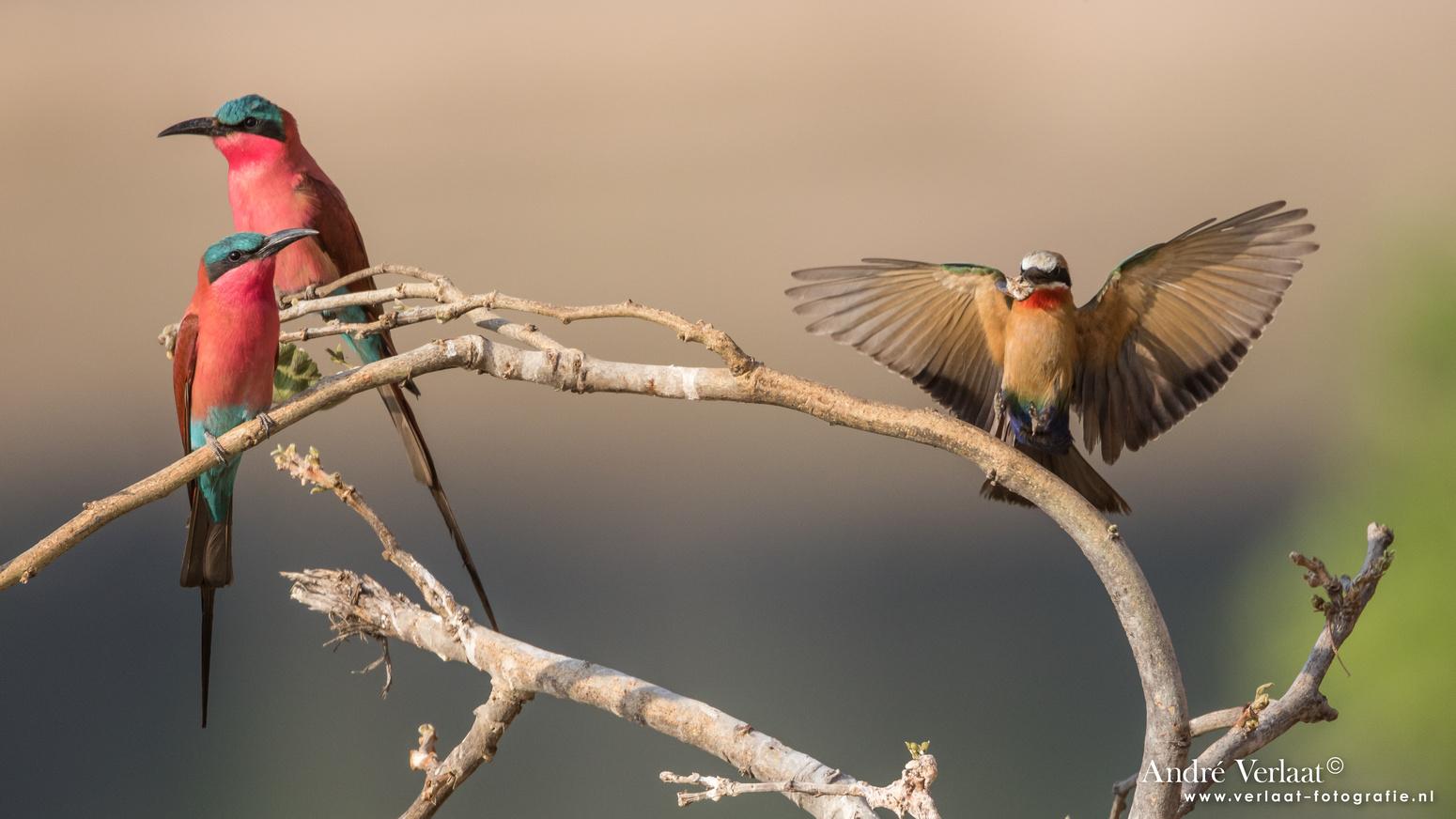 Karmijnrode Bijeneter / Carmine Bee-eater - South Luangwa NP