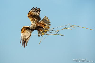 Bruine Kiekendief / Western Marsh Harrier