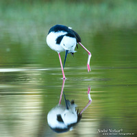 Steltkluut / Black-winged Stilt - Bowra Sanctuary