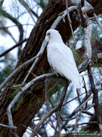 Naaktoogkaketoe / Little Corella - Coward Springs SA