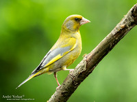 Groenling / Greenfinch
