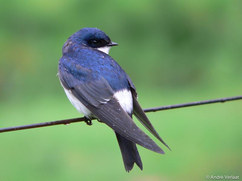 Chileense Zwaluw / Chilean Swallow  - Puyuhuapi