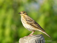 Boompieper / Tree Pipit - Den Oever