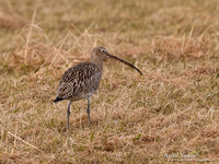Wulp / Curlew - Westerland