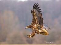 Zeearend / White-tailed Eagle - Central Poland