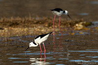 Steltkluut - Black-winged Stilt - Lake Atkinson